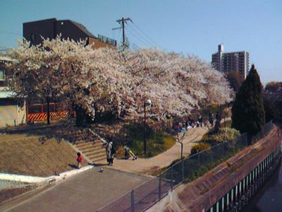 今年の桜 2012-1